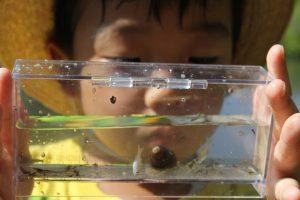 水中生物観察。小魚やヌマエビ、タニシなど。