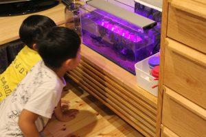完成した水槽に泳ぐクチボソを興味深く観察する子供